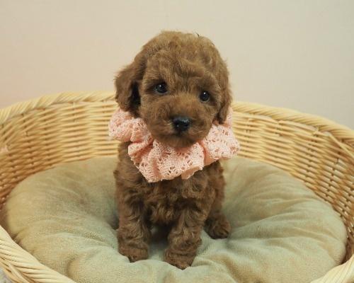 トイプードルの子犬(ID:1255511407)の1枚目の写真/更新日:2021-06-18