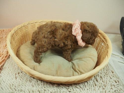 トイプードルの子犬(ID:1255511407)の2枚目の写真/更新日:2021-06-18