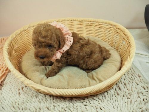トイプードルの子犬(ID:1255511407)の3枚目の写真/更新日:2021-06-18