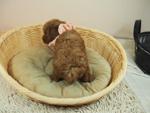 トイプードルの子犬(ID:1255511407)の4枚目の写真/更新日:2021-06-18