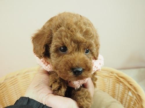 トイプードルの子犬(ID:1255511407)の5枚目の写真/更新日:2021-06-18