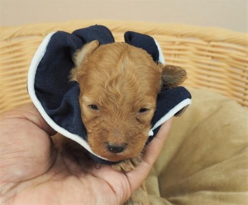 トイプードルの子犬(ID:1255511411)の1枚目の写真/更新日:2020-10-29