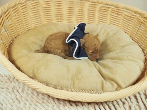 トイプードルの子犬(ID:1255511411)の2枚目の写真/更新日:2020-10-29