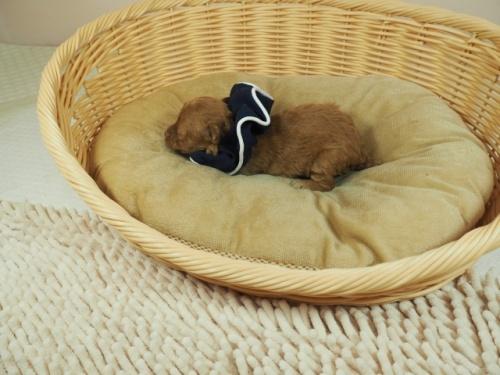 トイプードルの子犬(ID:1255511411)の3枚目の写真/更新日:2020-10-29