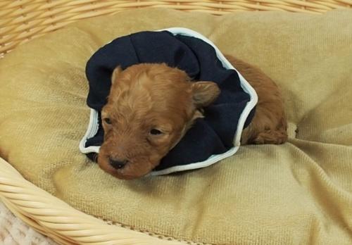 トイプードルの子犬(ID:1255511411)の5枚目の写真/更新日:2020-10-29