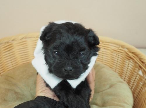 トイプードルの子犬(ID:1255511412)の1枚目の写真/更新日:2021-04-15