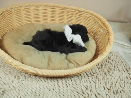 トイプードルの子犬(ID:1255511412)の2枚目の写真/更新日:2021-04-15