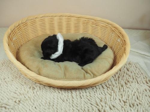 トイプードルの子犬(ID:1255511412)の3枚目の写真/更新日:2021-04-15