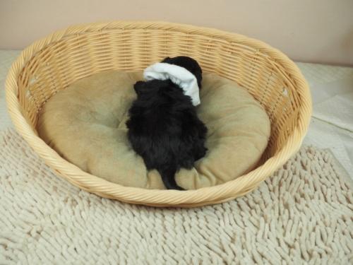 トイプードルの子犬(ID:1255511412)の4枚目の写真/更新日:2021-04-15
