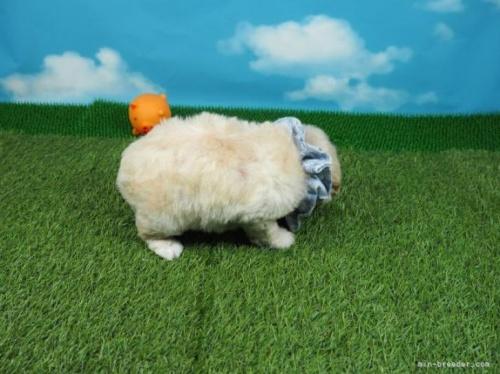トイプードルの子犬(ID:1255511413)の2枚目の写真/更新日:2020-06-03
