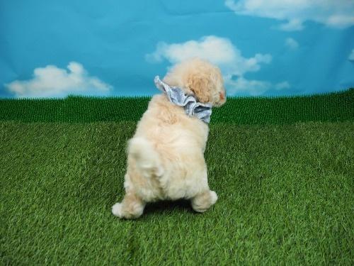 トイプードルの子犬(ID:1255511413)の4枚目の写真/更新日:2020-06-03