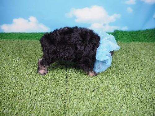 ミニチュアシュナウザーの子犬(ID:1255511414)の2枚目の写真/更新日:2020-06-16