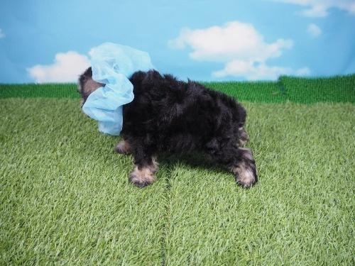 ミニチュアシュナウザーの子犬(ID:1255511414)の3枚目の写真/更新日:2020-06-16