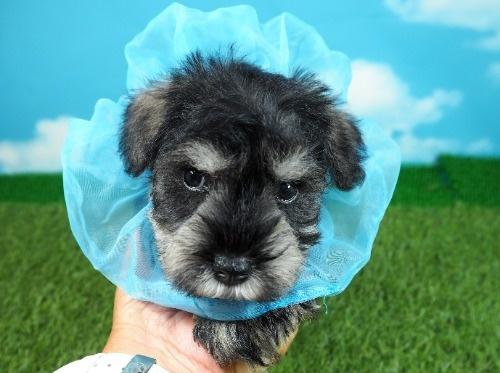 ミニチュアシュナウザーの子犬(ID:1255511414)の5枚目の写真/更新日:2020-06-16