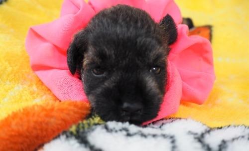 ミニチュアシュナウザーの子犬(ID:1255511415)の1枚目の写真/更新日:2020-06-16