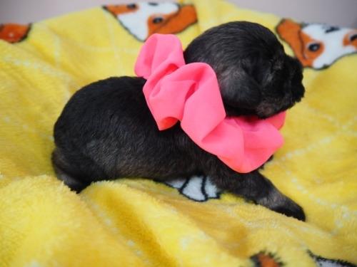 ミニチュアシュナウザーの子犬(ID:1255511415)の2枚目の写真/更新日:2020-06-16