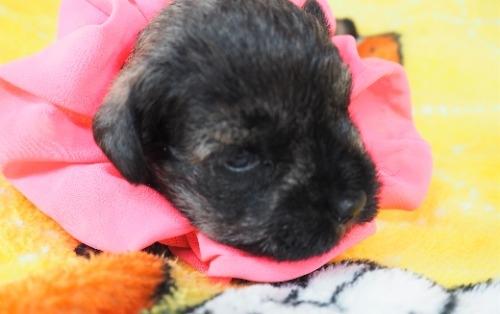 ミニチュアシュナウザーの子犬(ID:1255511415)の5枚目の写真/更新日:2020-06-16