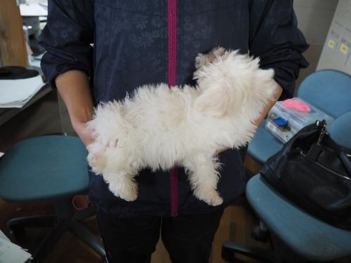 マルチーズの子犬(ID:1255511416)の2枚目の写真/更新日:2020-06-26