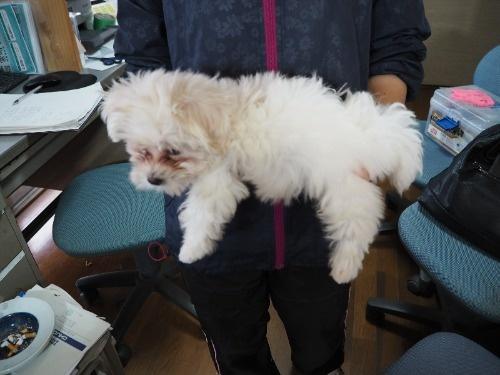 マルチーズの子犬(ID:1255511416)の3枚目の写真/更新日:2020-06-26