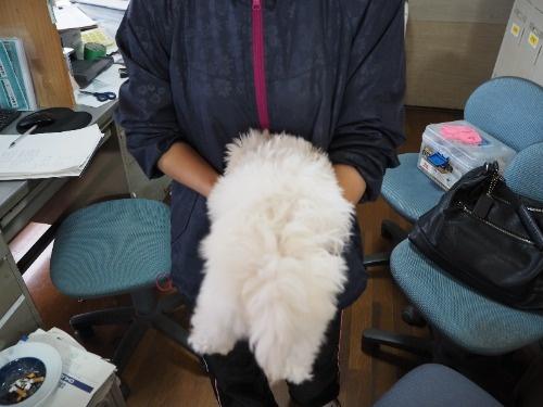 マルチーズの子犬(ID:1255511416)の4枚目の写真/更新日:2020-06-26