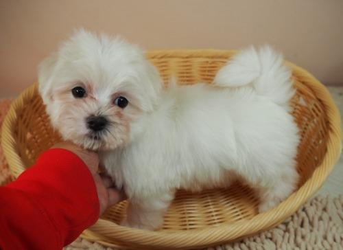 マルチーズの子犬(ID:1255511416)の5枚目の写真/更新日:2020-06-26
