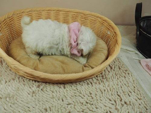 マルチーズの子犬(ID:1255511417)の2枚目の写真/更新日:2021-10-05
