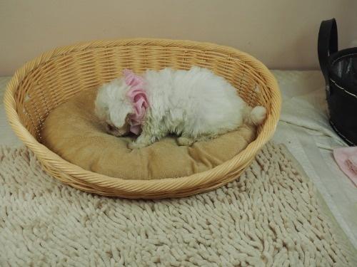 マルチーズの子犬(ID:1255511417)の3枚目の写真/更新日:2021-10-05