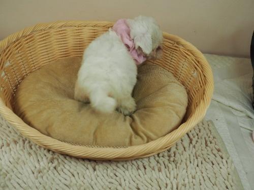 マルチーズの子犬(ID:1255511417)の4枚目の写真/更新日:2021-10-05