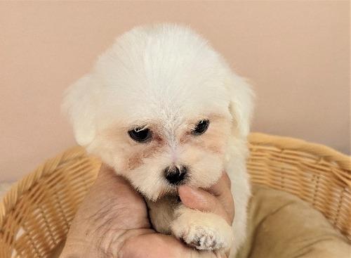 マルチーズの子犬(ID:1255511417)の5枚目の写真/更新日:2021-10-15