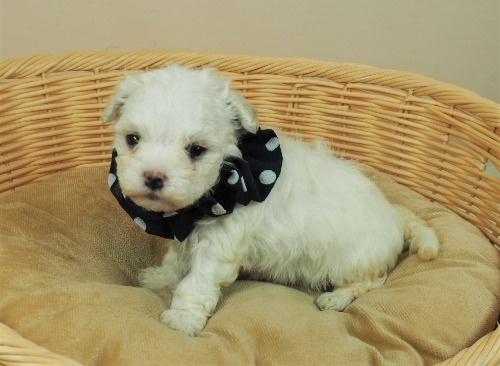 マルチーズの子犬(ID:1255511418)の1枚目の写真/更新日:2021-10-07