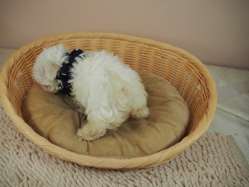 マルチーズの子犬(ID:1255511418)の4枚目の写真/更新日:2021-10-20