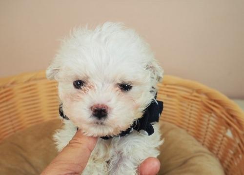 マルチーズの子犬(ID:1255511418)の5枚目の写真/更新日:2021-10-20