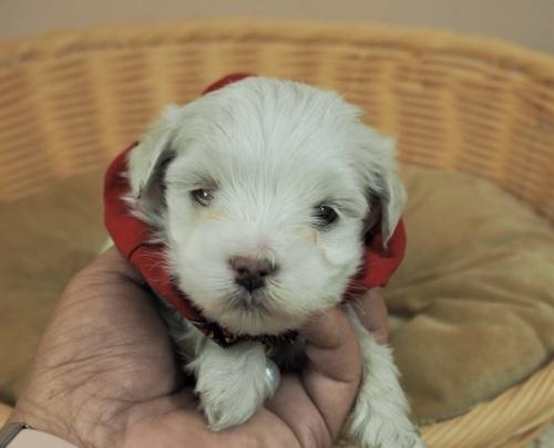 マルチーズの子犬(ID:1255511419)の1枚目の写真/更新日:2020-06-26