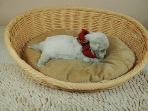 マルチーズの子犬(ID:1255511419)の2枚目の写真/更新日:2020-06-26