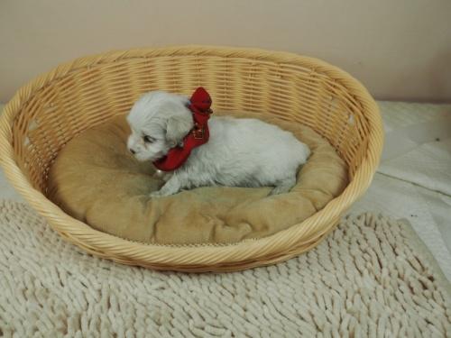 マルチーズの子犬(ID:1255511419)の3枚目の写真/更新日:2020-06-26