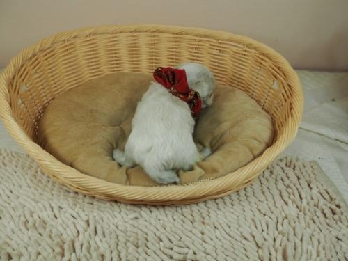 マルチーズの子犬(ID:1255511419)の4枚目の写真/更新日:2020-06-26