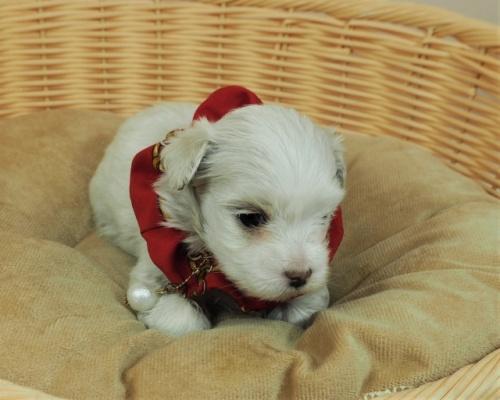 マルチーズの子犬(ID:1255511419)の5枚目の写真/更新日:2020-06-26