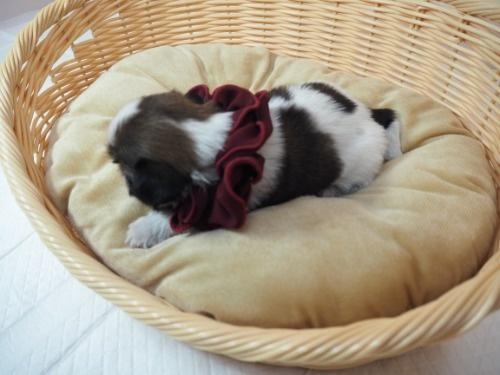 シーズーの子犬(ID:1255511420)の3枚目の写真/更新日:2020-07-10