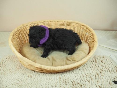 ミックスの子犬(ID:1255511421)の3枚目の写真/更新日:2020-07-01