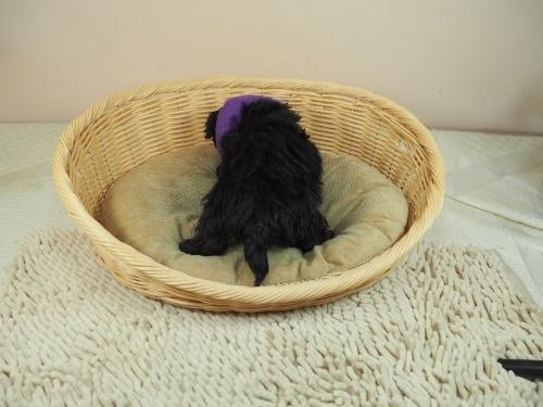ミックスの子犬(ID:1255511421)の4枚目の写真/更新日:2020-07-01