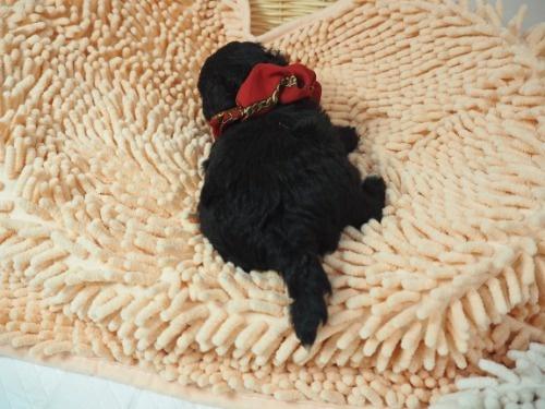 ミックスの子犬(ID:1255511422)の4枚目の写真/更新日:2020-07-01