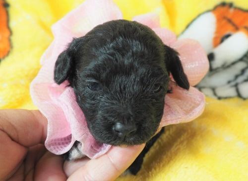 ミックスの子犬(ID:1255511424)の1枚目の写真/更新日:2020-07-01