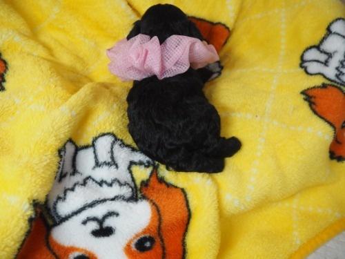 ミックスの子犬(ID:1255511424)の4枚目の写真/更新日:2020-07-01