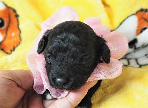ミックスの子犬(ID:1255511424)の5枚目の写真/更新日:2020-07-01