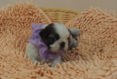 シーズーの子犬(ID:1255511432)の1枚目の写真/更新日:2020-07-31
