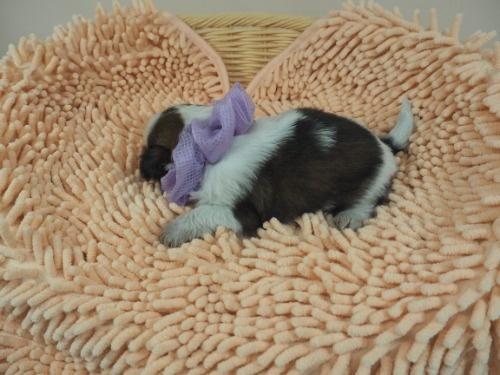シーズーの子犬(ID:1255511432)の3枚目の写真/更新日:2020-07-31