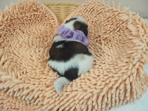 シーズーの子犬(ID:1255511432)の4枚目の写真/更新日:2020-07-31