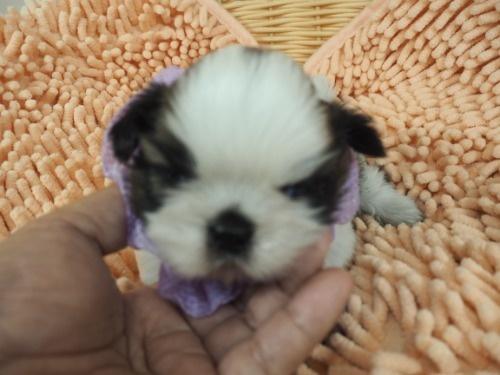 シーズーの子犬(ID:1255511432)の5枚目の写真/更新日:2020-07-31