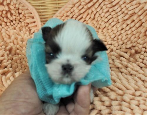 シーズーの子犬(ID:1255511433)の1枚目の写真/更新日:2020-07-31
