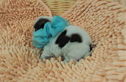 シーズーの子犬(ID:1255511433)の3枚目の写真/更新日:2020-07-31